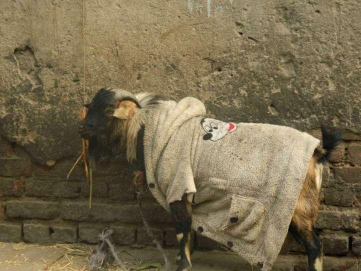 A Fashionable Goat