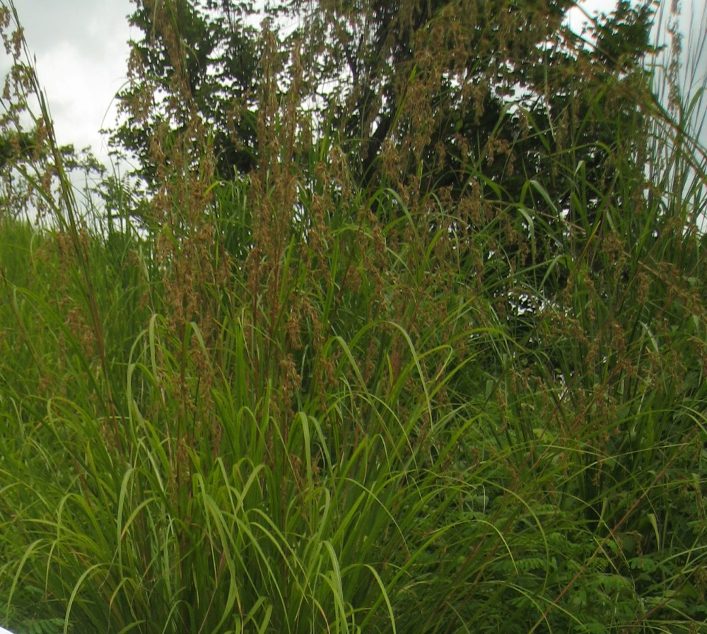 BOTANICAL STRUCTURE OF THE TARLAC GRASS (4/5)