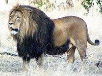 Незабываемая охота на львов в Африке