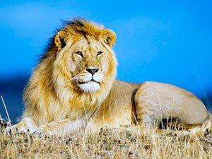 Сафари охота на африканского льва