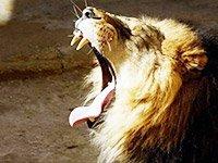 Традиционное сафари охота на львов