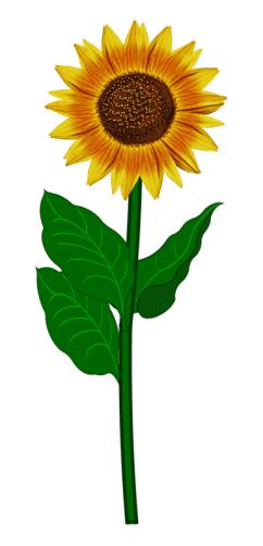 Sonnenblumen_2