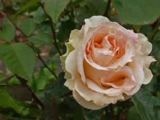 2014_06_21_Rose