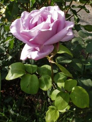 2014_07_20_Rose-2