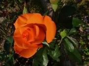 2014_07_20_Rose_7