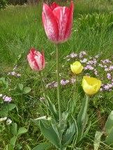 2015_05_23_Tulpen_2