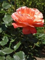 2015_07_01_Rose_11
