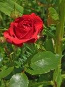 2015_07_01_Rose_2