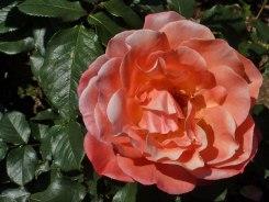 2015_07_01_Rose_21