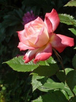 2015_07_01_Rose_25