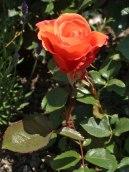 2015_07_01_Rose_4
