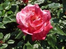 2015_07_01_Rose_8