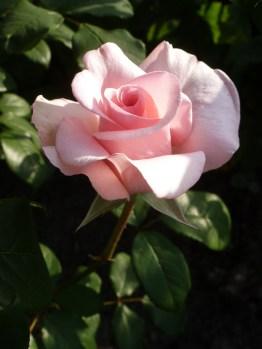 2015_07_05_Rose_8