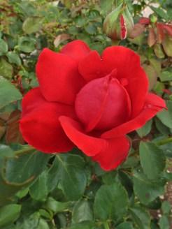 Rote Rose 11
