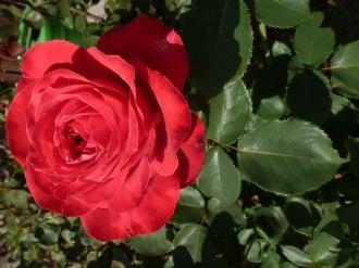 Rote Rose 13