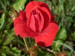 Rote Rose 16