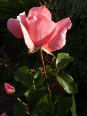 2015_08_03_Rose_4