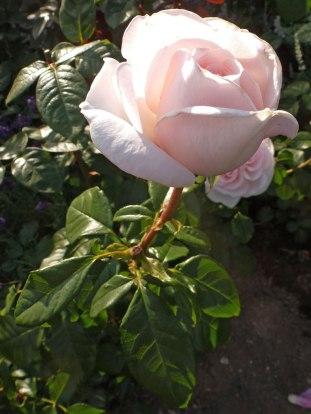 2015_08_03_Rose_5
