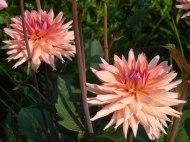 Dahlienblüte 10