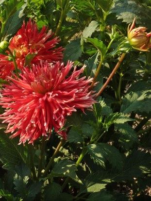 Dahlienblüte 11