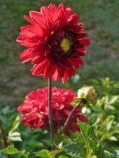 Dahlienblüte 4