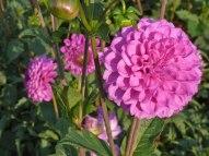 Dahlienblüte 8
