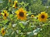 Sonnenblume-sunflowers 1