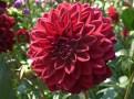 Dahlienblüte 18