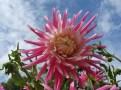 Dahlienblüte 20