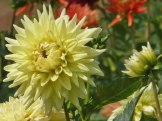Dahlienblüte 16