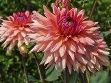 Dahlienblüte 15