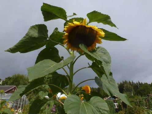 Sonnenblumen 010