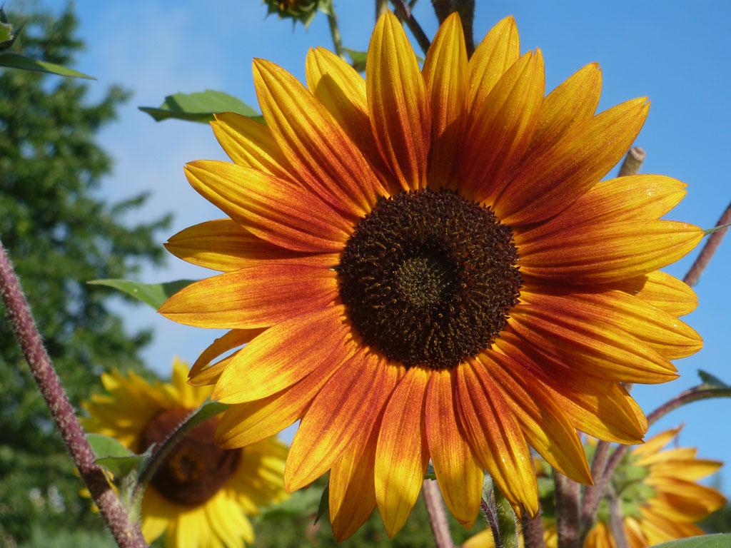 Sonnenblumen im September  Meine Internetseite
