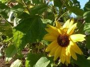 Sonnenblumen 04