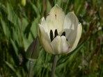 Späte Tulpe 2