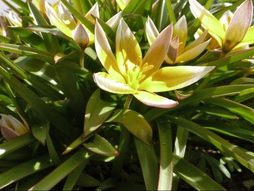 Tarda – Tulpe 10