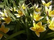 Tarda – Tulpe 8