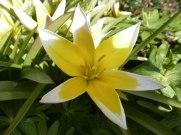 Tarda – Tulpe 9
