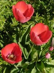 Tulpen 27