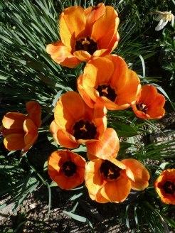 Tulpen 29
