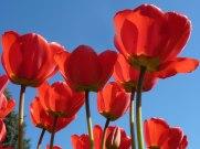 Tulpen 46
