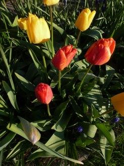Tulpen 50