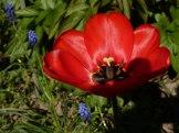 Tulpen 7