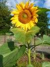Sonnenblume 13