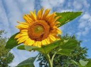 Sonnenblume 8