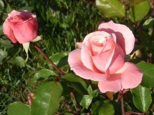 Rosa Rose 10