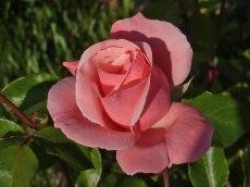 Rosa Rose 2