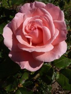 Rosa Rose 5