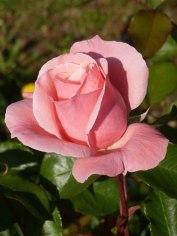 Rosa Rose 9
