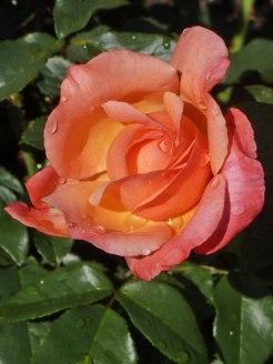 Rose – Regentropfen 2